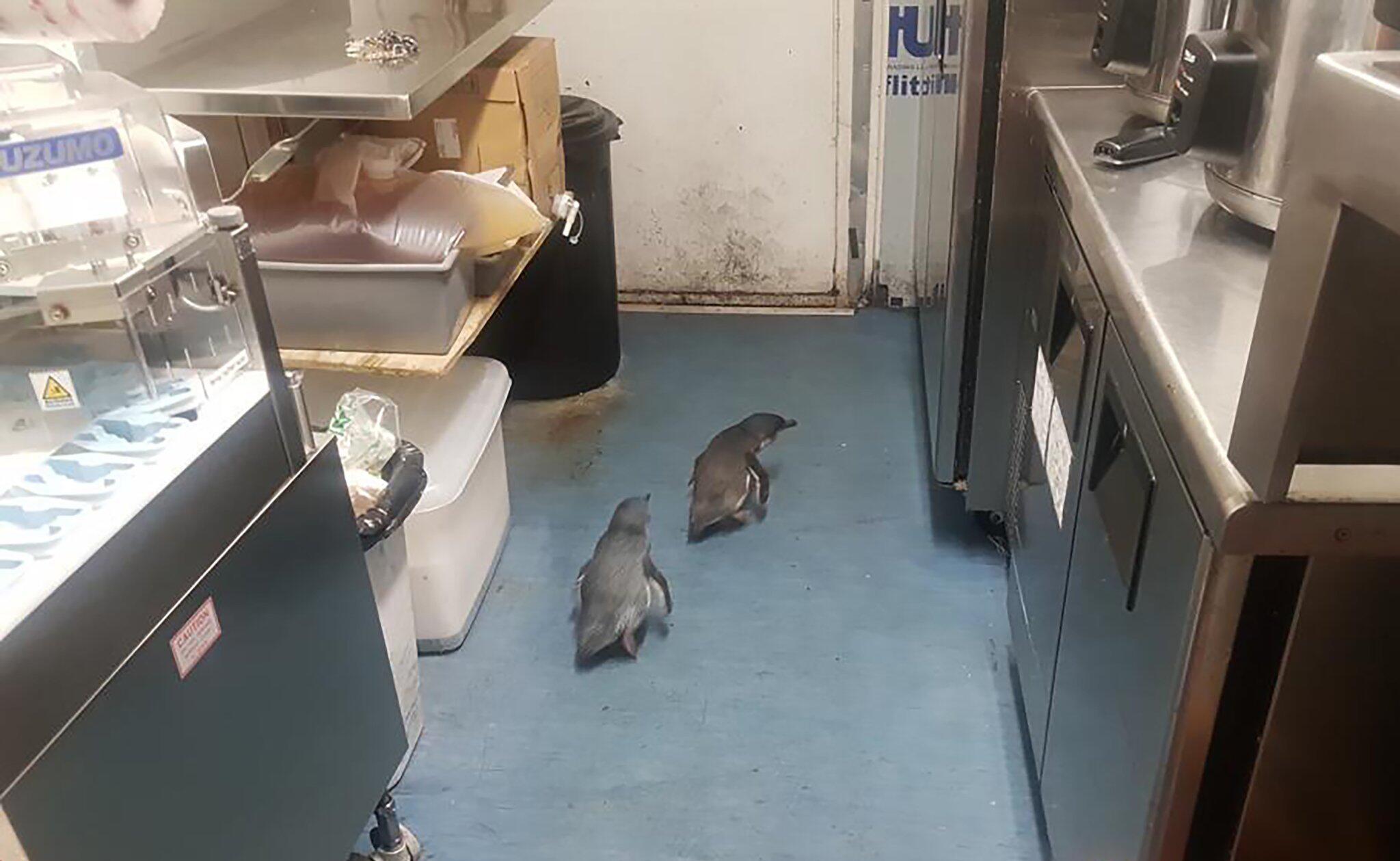 Bild zu Pinguine richten sich unter Sushi-Stand in Neuseeland ein