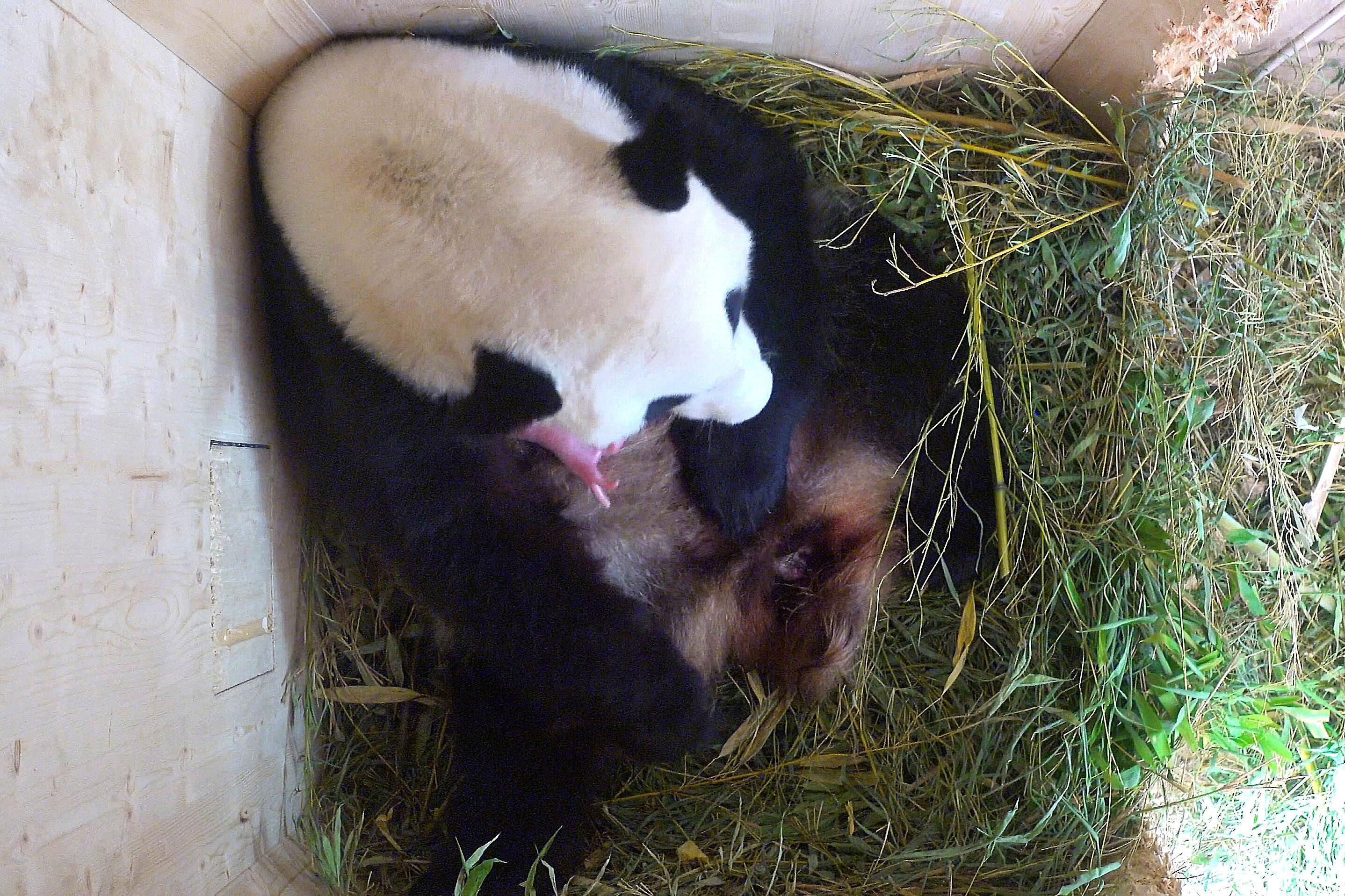 Bild zu Grosser Panda, Wien, Schönbrunn, Baby, Jungtier
