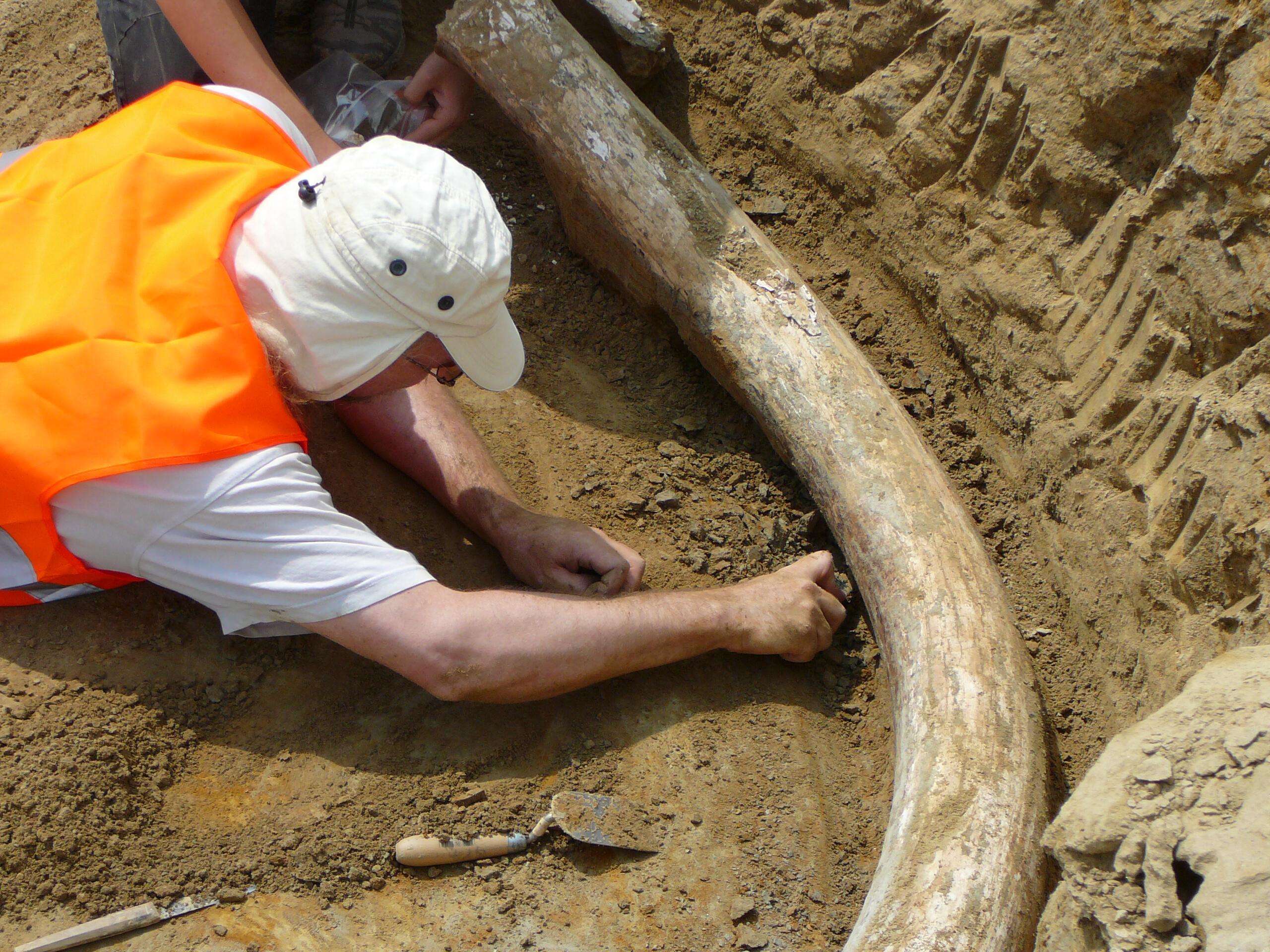 Bild zu Ur-Mammut A5 Niederösterreich