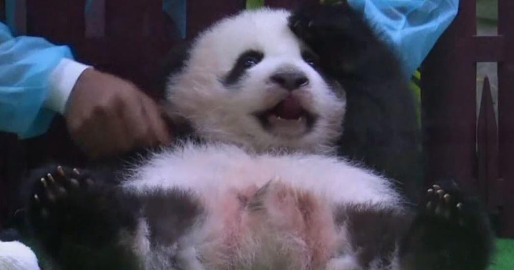 ein panda baby in kuala lumpur pr sentiert sich der ffentlichkeit gmx ch. Black Bedroom Furniture Sets. Home Design Ideas