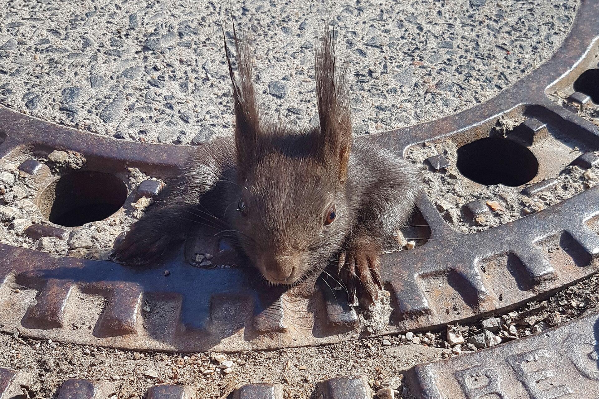 Bild zu Eichhörnchen in Gullydeckel