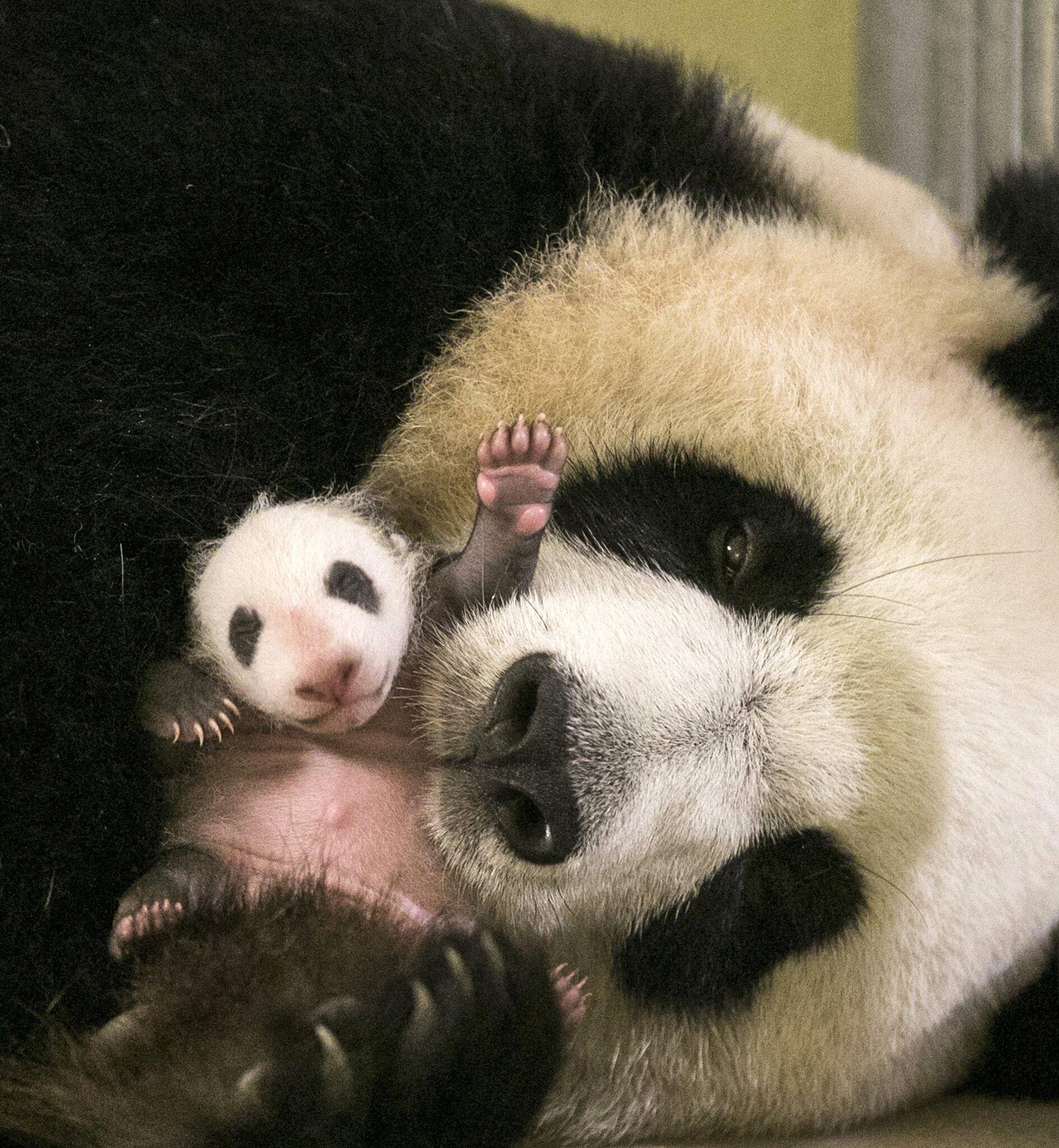 Bild zu Panda Baby in Frankreich