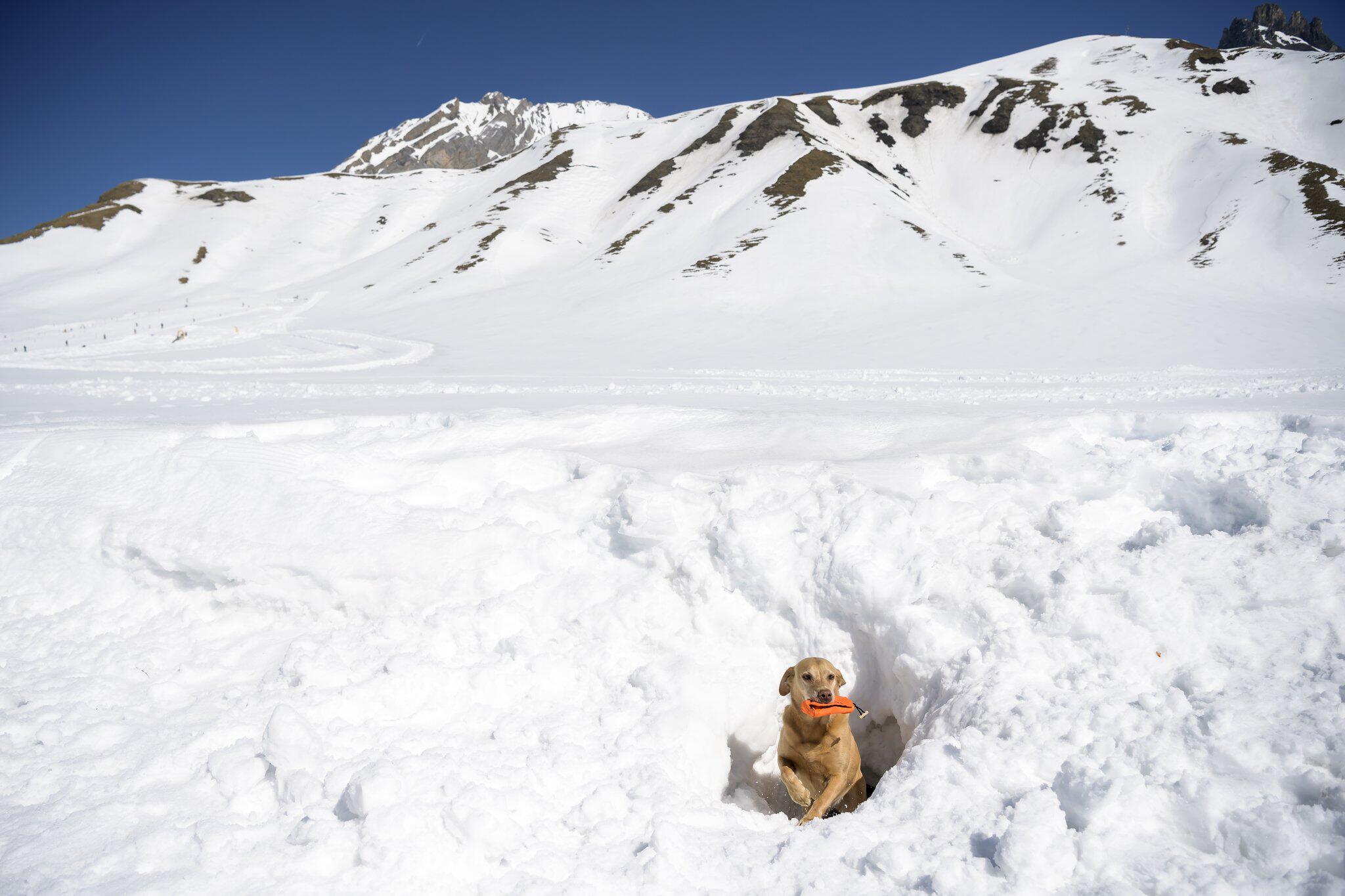 Bild zu Schweizer Meisterschaft der Lawinenhunde 2019