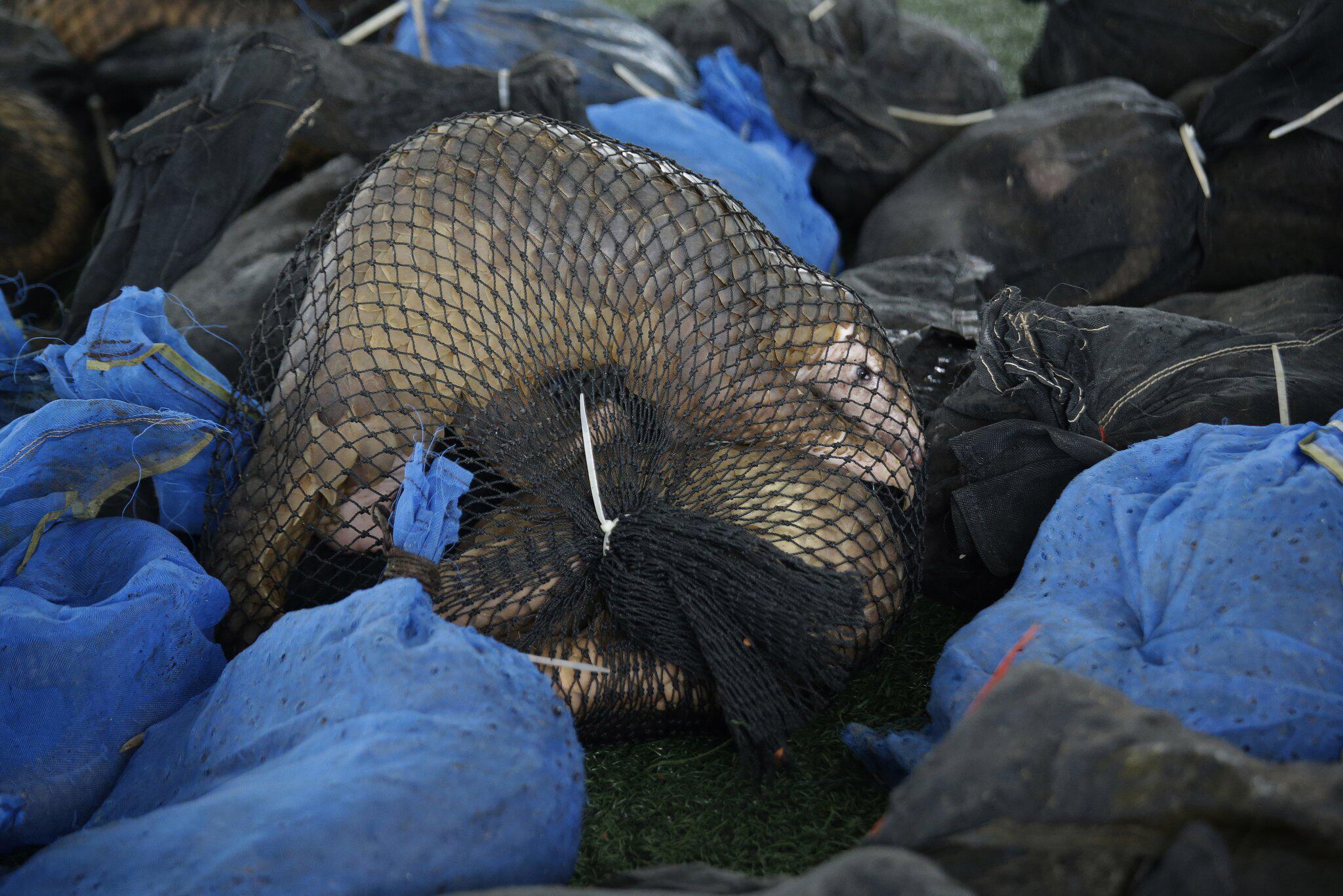 Bild zu Illegaler Handel vom Schuppentier