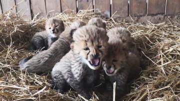 Bild zu Gepardenbabys