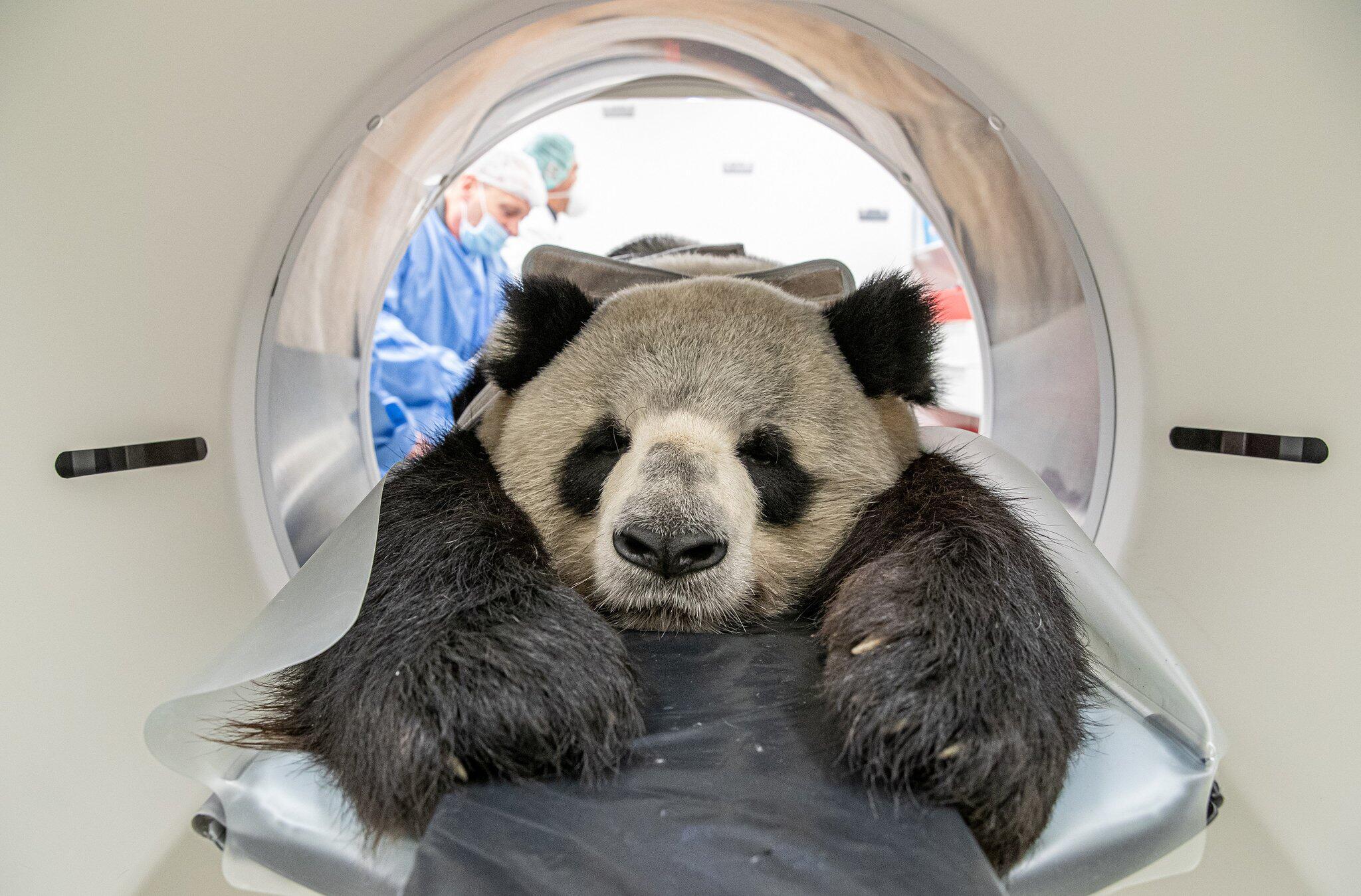 Bild zu Gesundheitscheck bei Jiao Qing aus dem Zoo Berlin