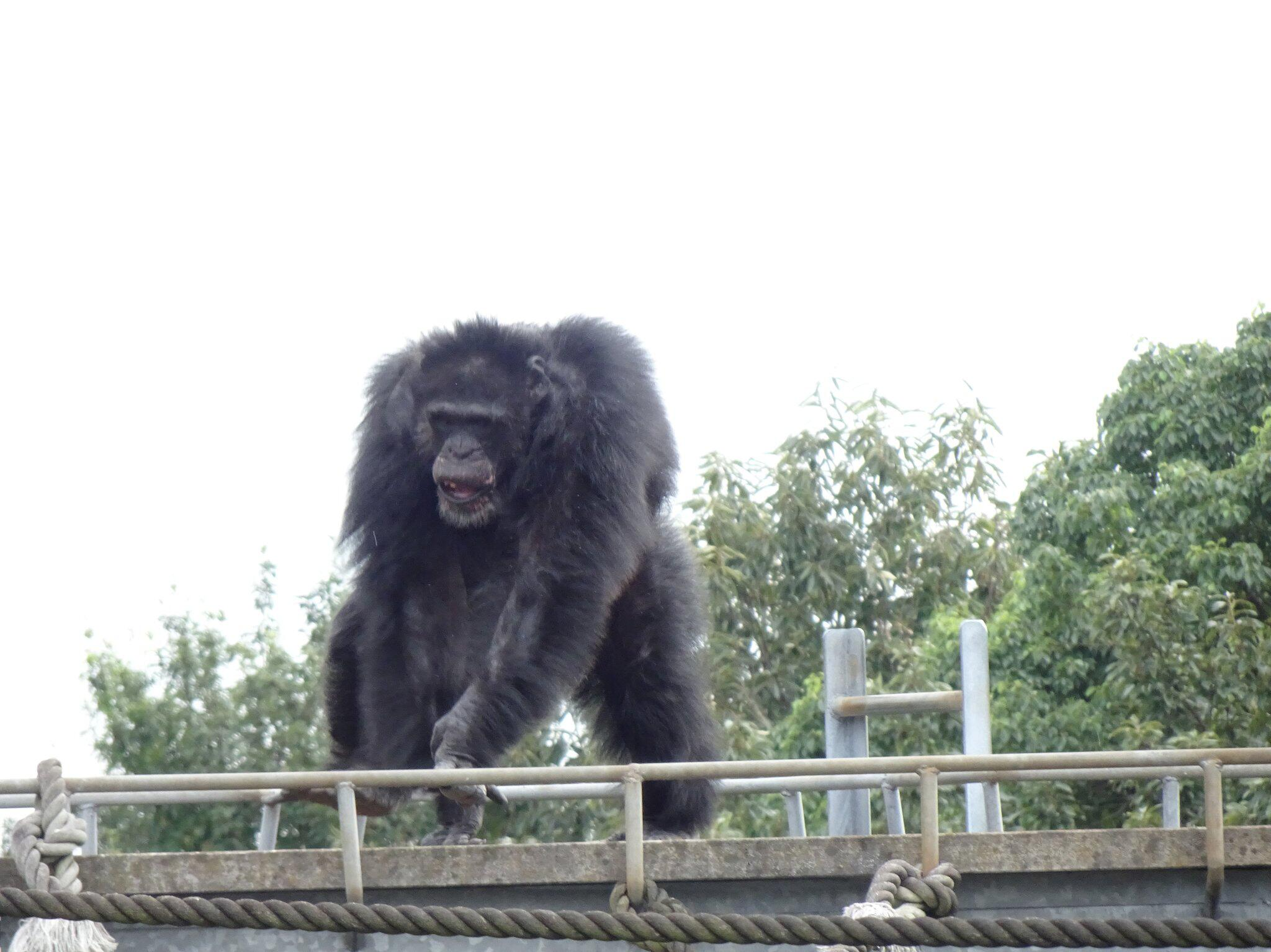 Bild zu Schimpansen bewegen sich rhythmisch zu Musik