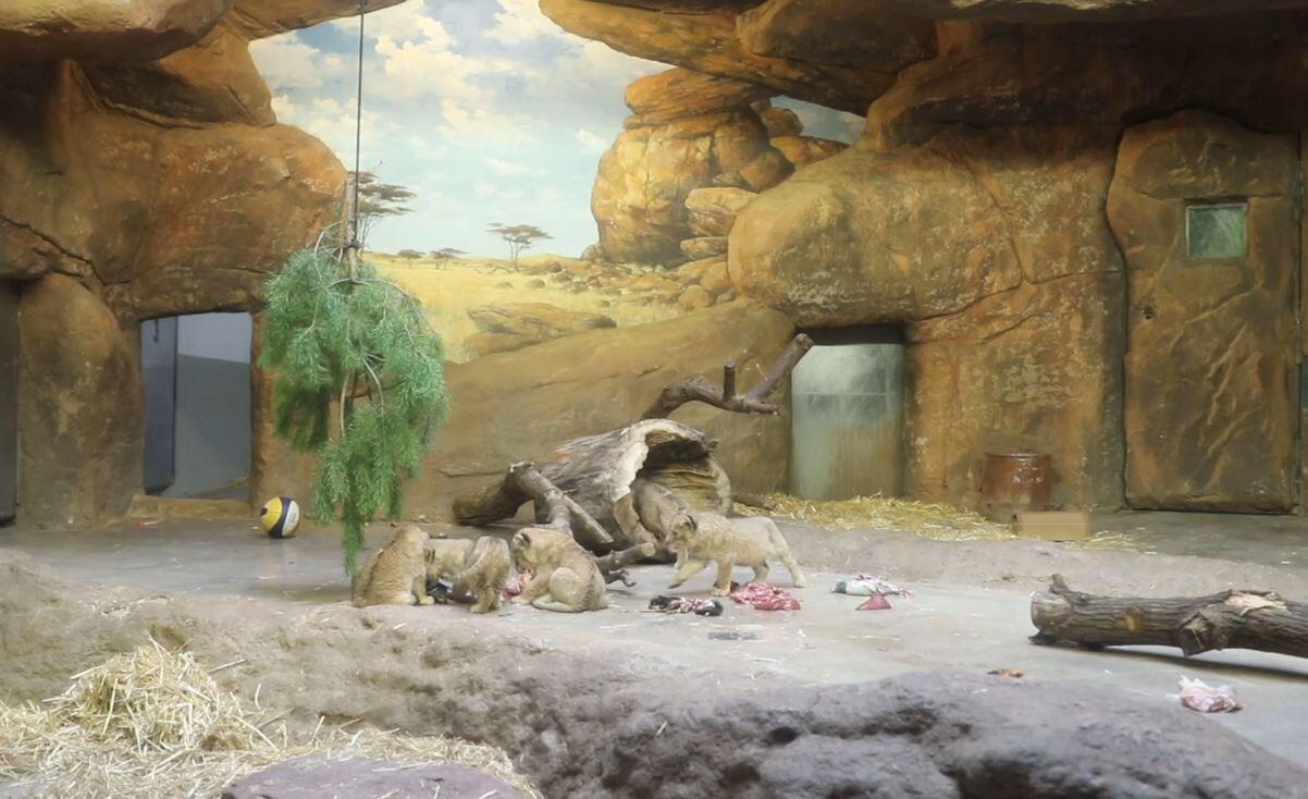 Bild zu Leipziger Zoo, Löwen-Babys