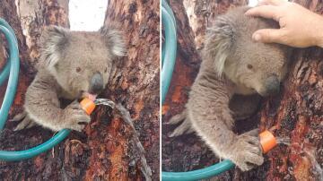 Bild zu Koala, Wasser, Gartenschlauch, Durst