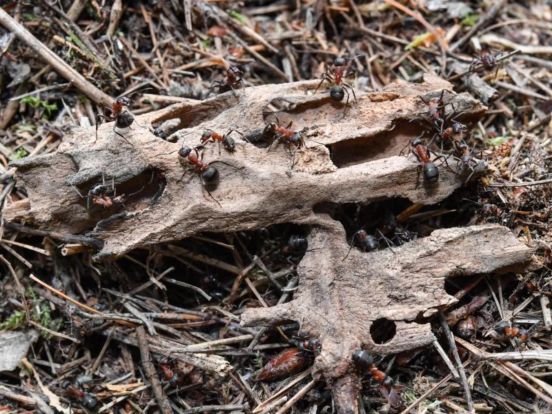 Bild zu Kahlrückige Waldameisen