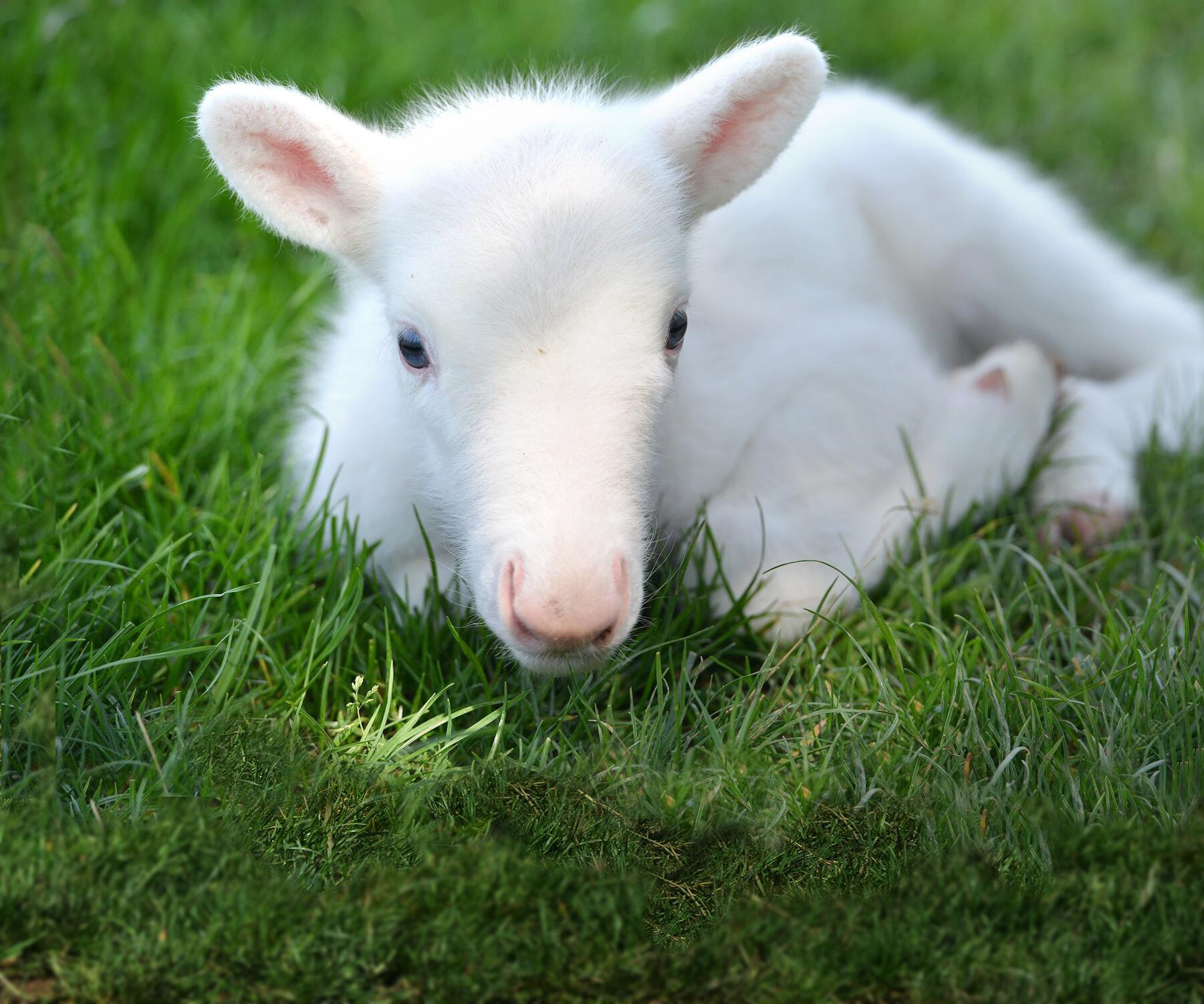 Bild zu Weisses Rentierbaby geboren
