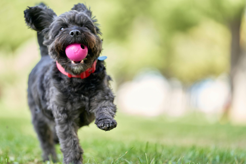 Bild zu Hund, der mit einem Ball spielt