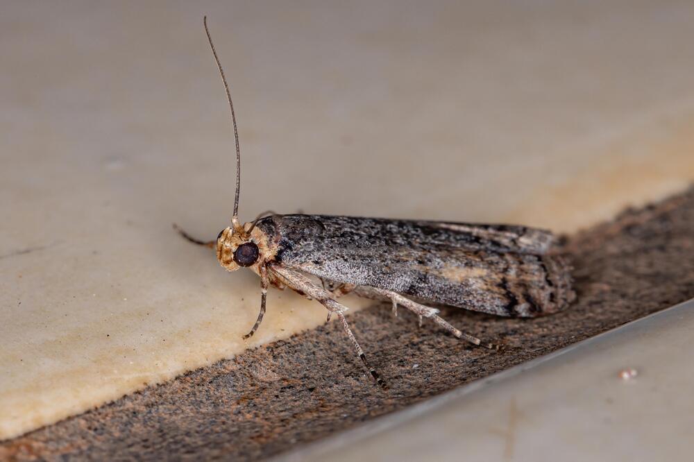 Die Phycitinae gehört zur grossen Unterfamilie der Zünsler.