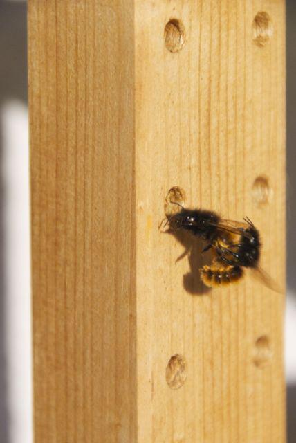 Bild zu Wildbienen
