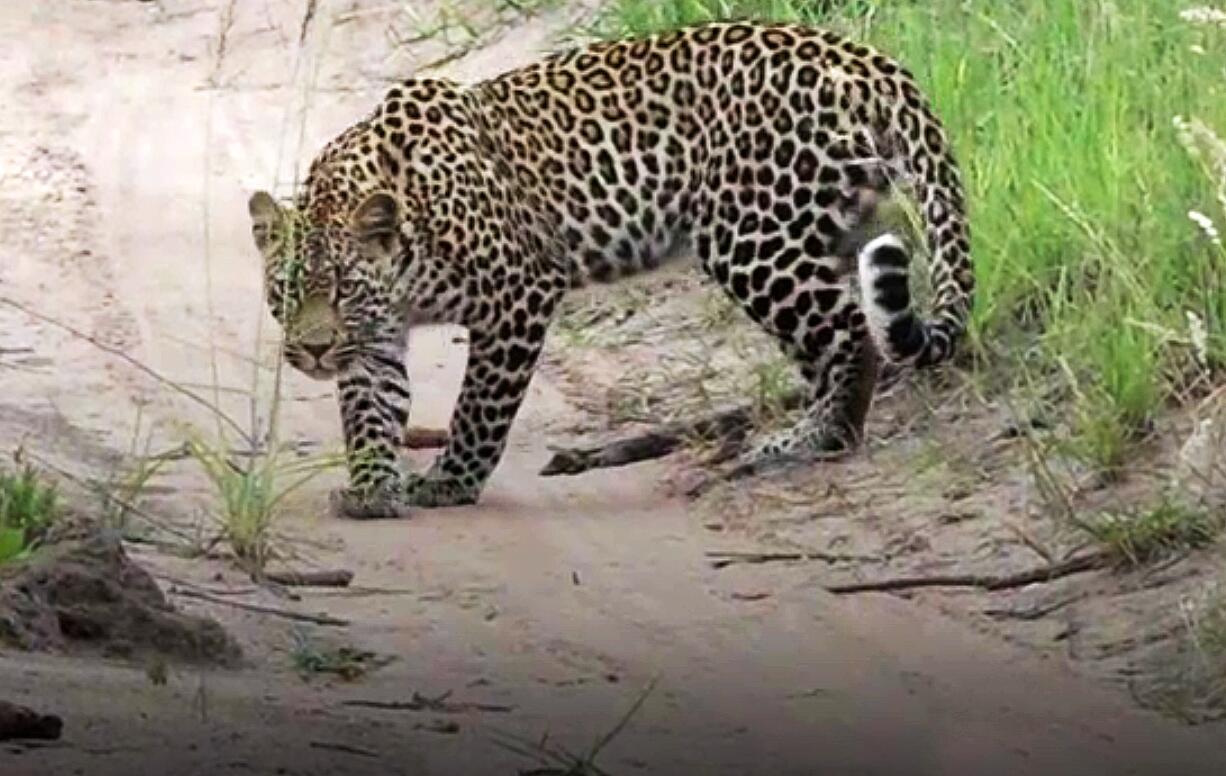 Bild zu Leopardin, Manguste, Jagd, Wüste