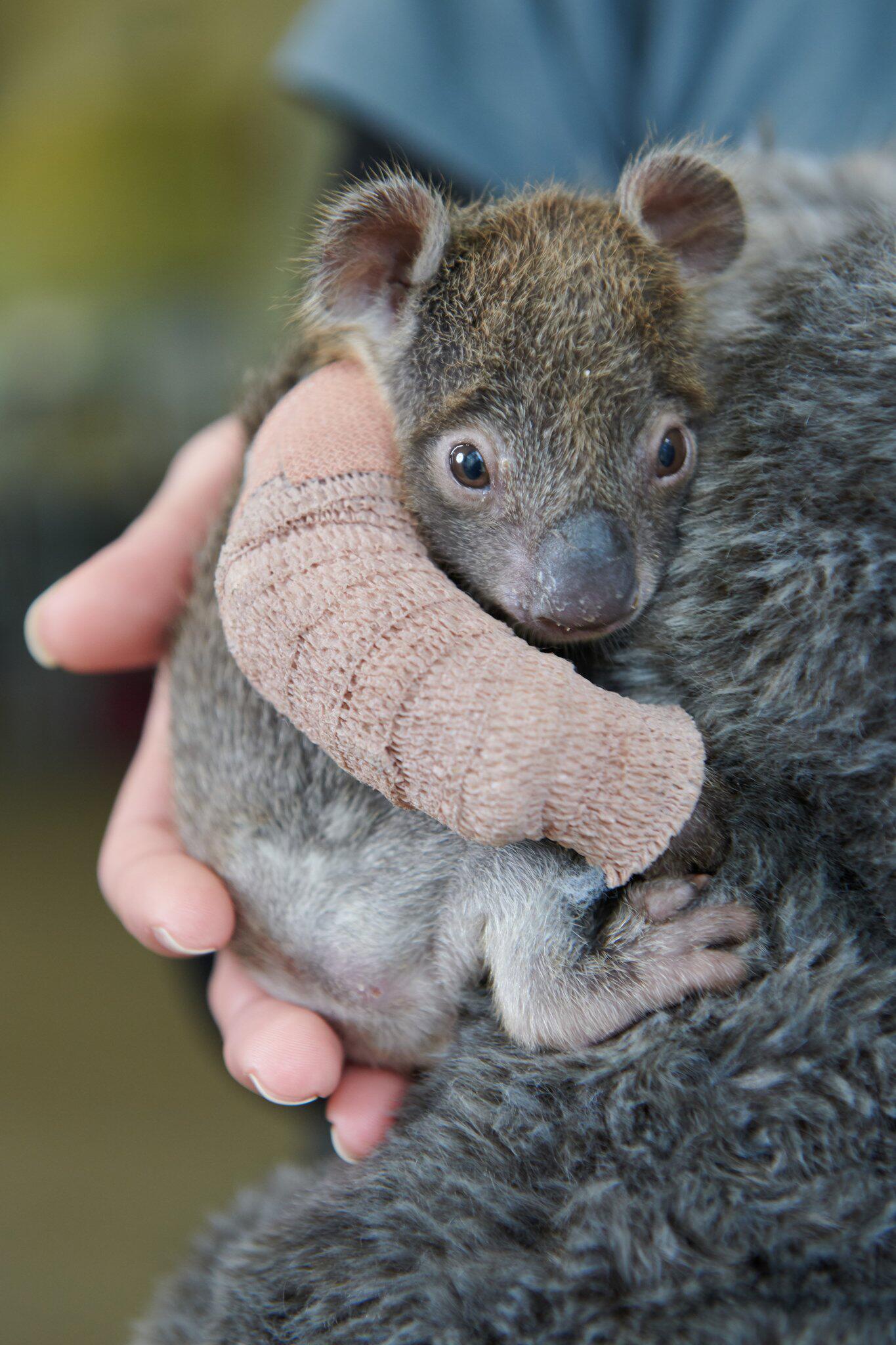 Bild zu Koalababy bekommt Gips und Pflegemutter