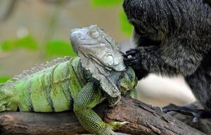 Weisskopfsaki-Weibchen und grüner Leguan