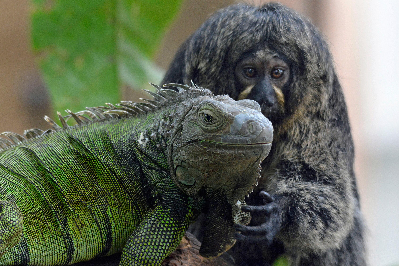Bild zu Weisskopfsaki-Weibchen und grüner Leguan