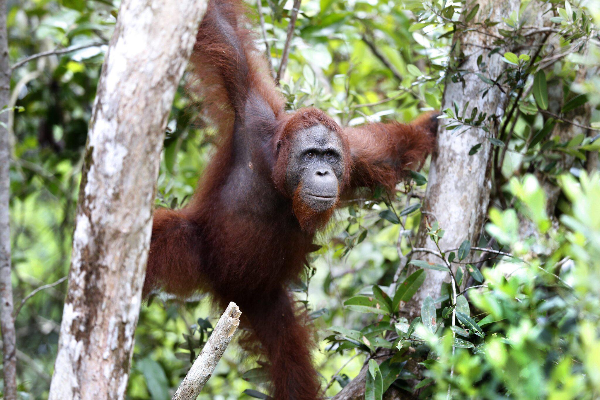 Bild zu Orang-Utan auf Borneo