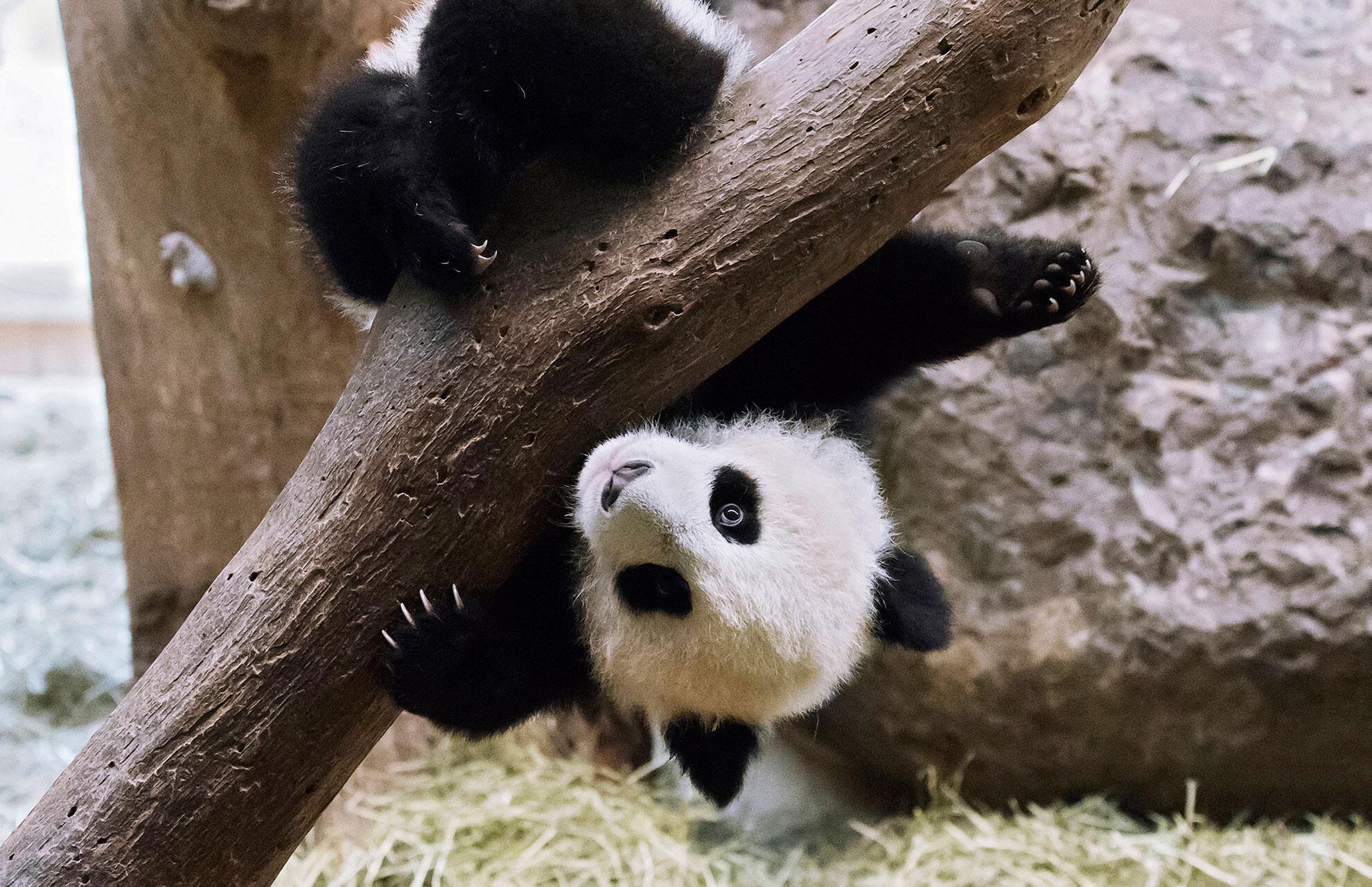 Bild zu Pandas, Tiergarten Schönbrunn, Daniel Zupanc