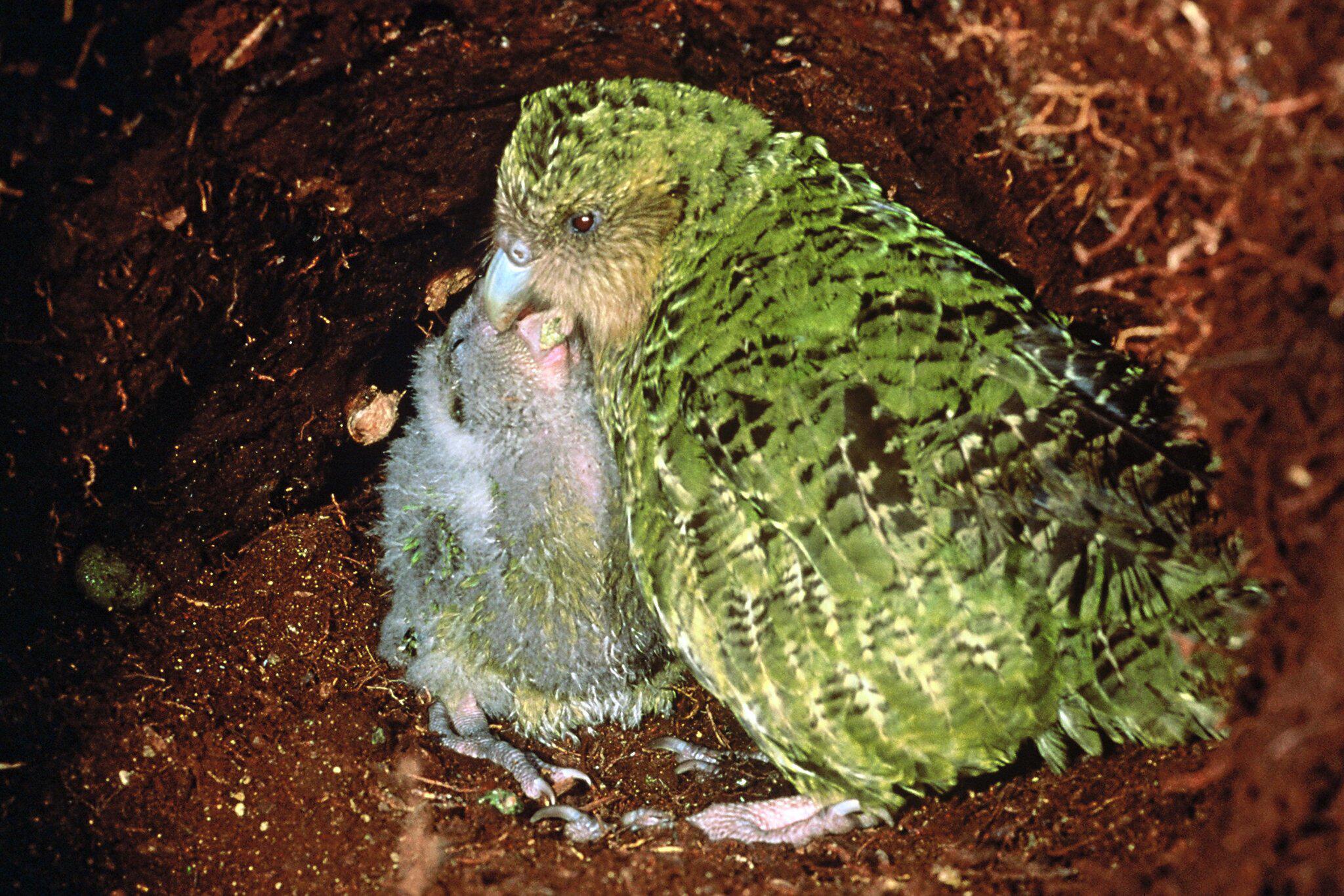 Bild zu Pilzerkrankung befällt bedrohte Kakapos - nur noch 142 Tiere