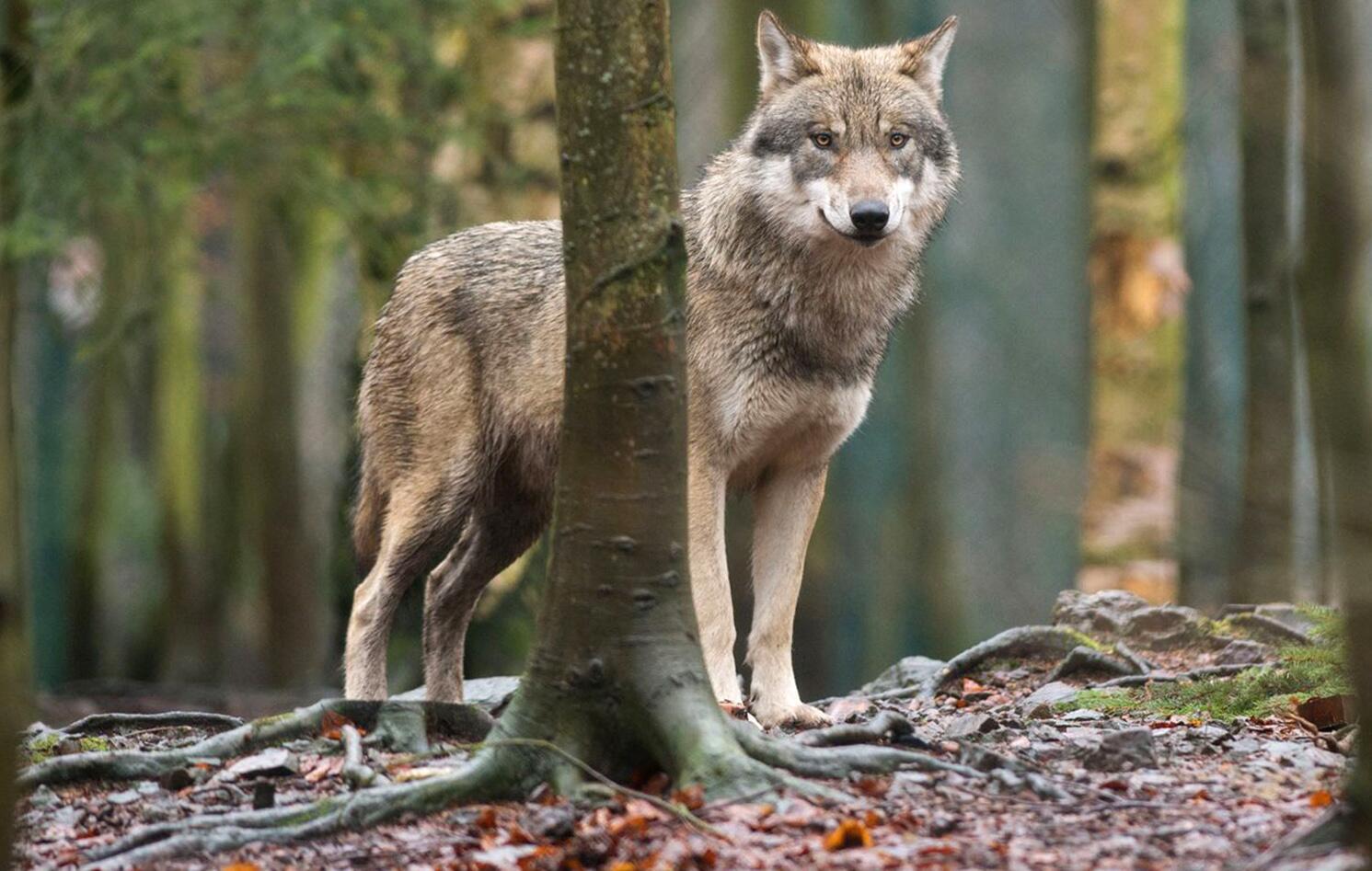 Bild zu Wolf im Wald