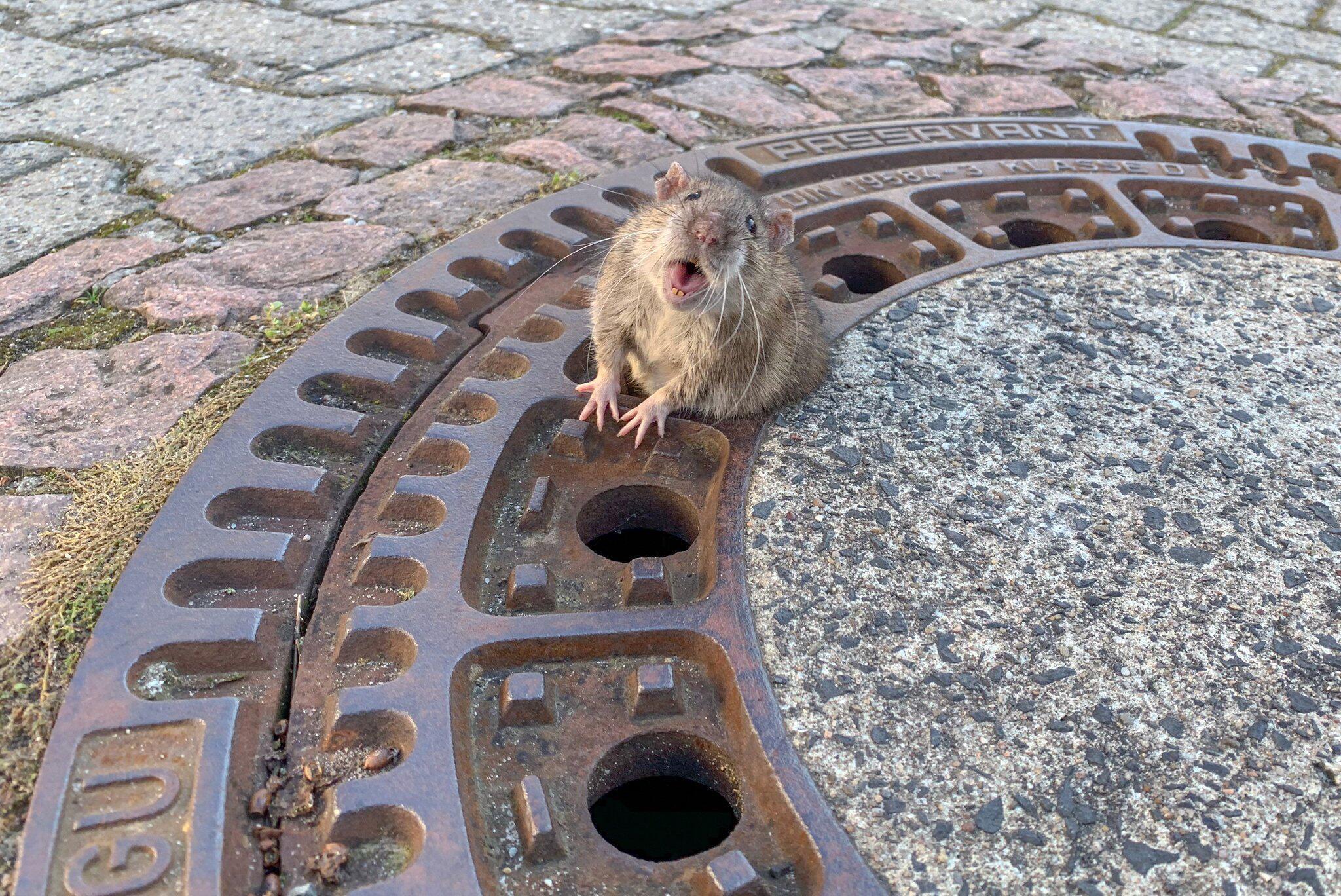 Bild zu Ratte aus Gullydeckel befreit