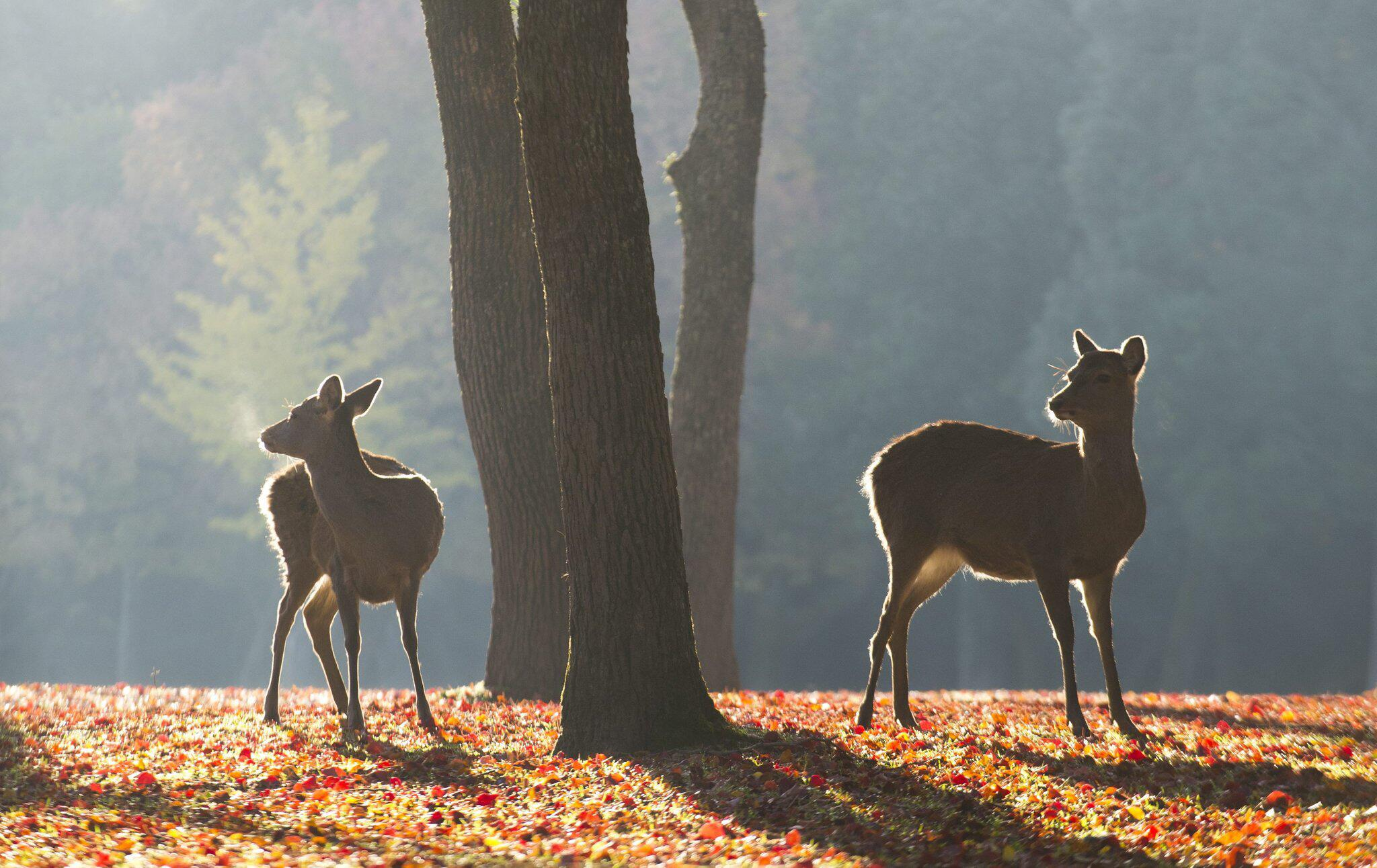 Bild zu Rehe im Nara-Park