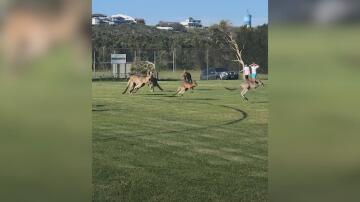 Bild zu Fussball, Australien, Känguru,