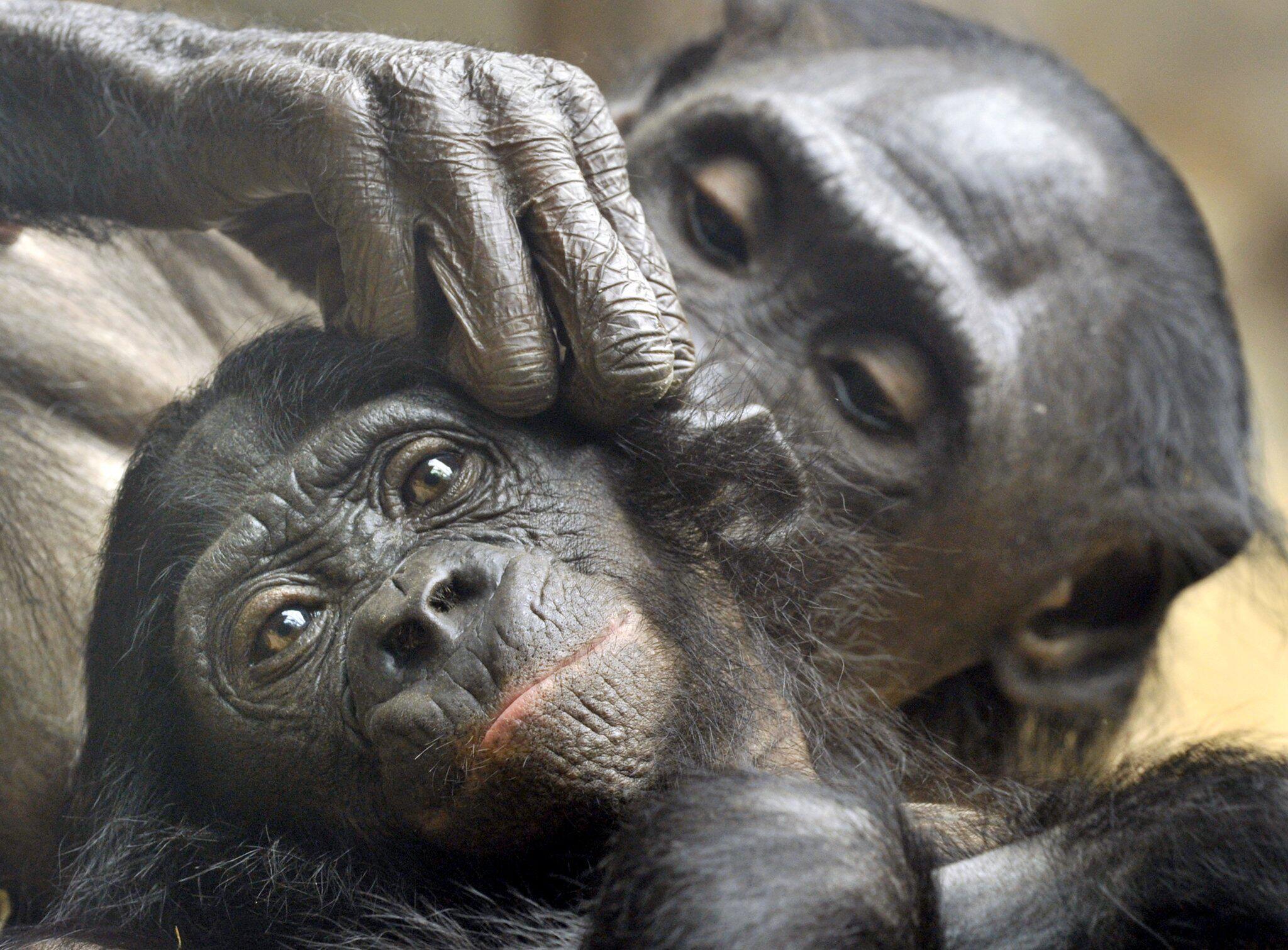 Bild zu Bonobo-Affen