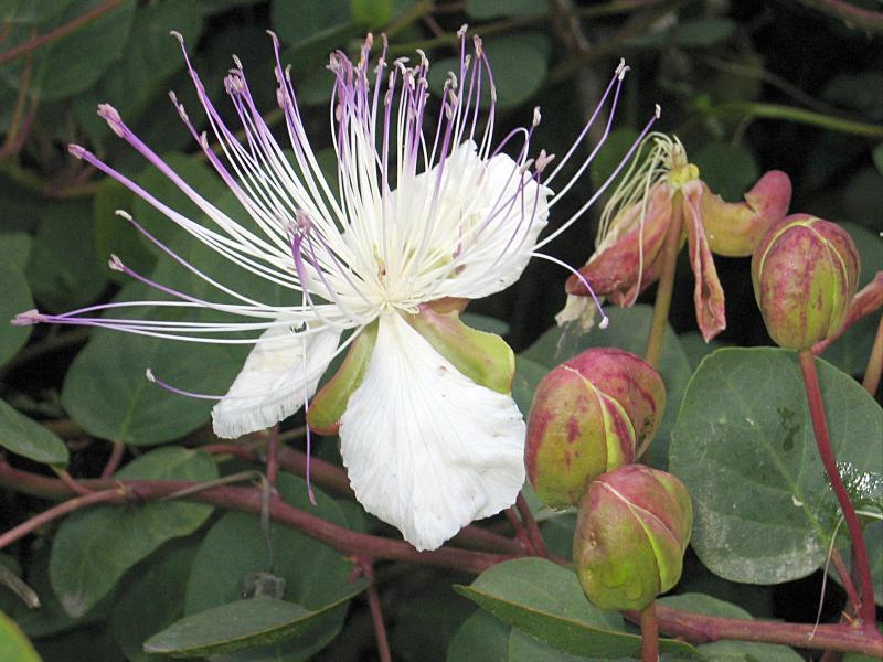 Bild zu Kapernblüte mit Kapern
