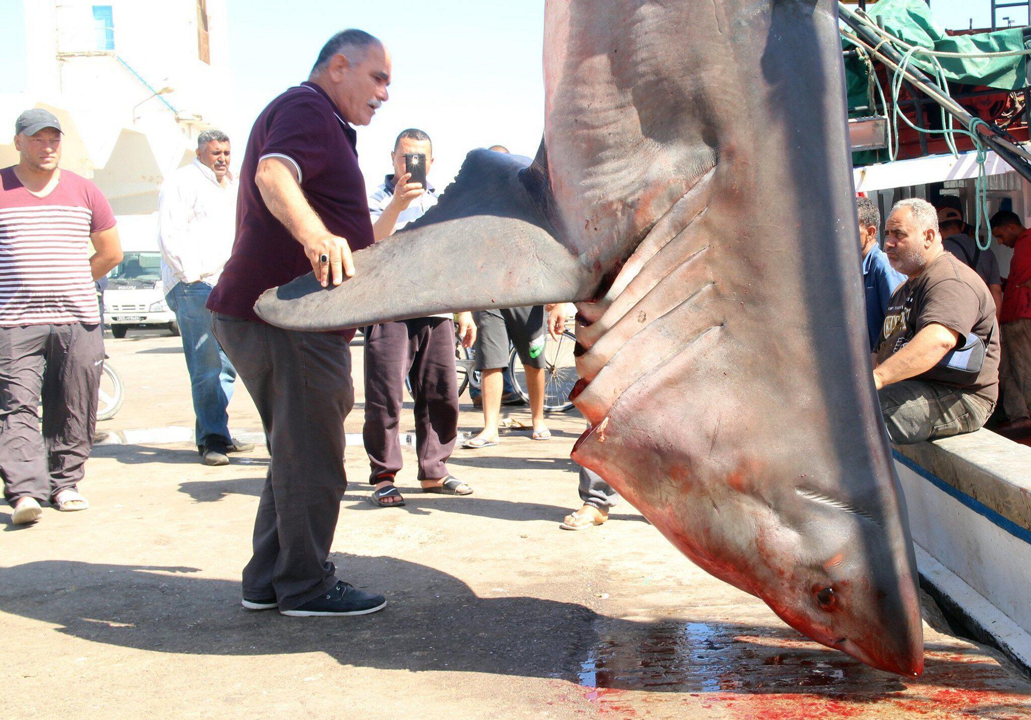 Bild zu Fischer fangen Weissen Hai im Mittelmeer