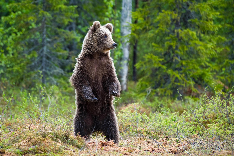 Bild zu Bären gibt es in Russland einige - und die Flucht geschlagen werden sie selten