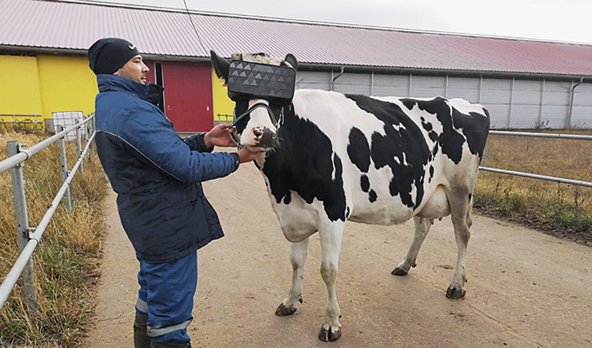 Bild zu Kuh mit VR-Brille