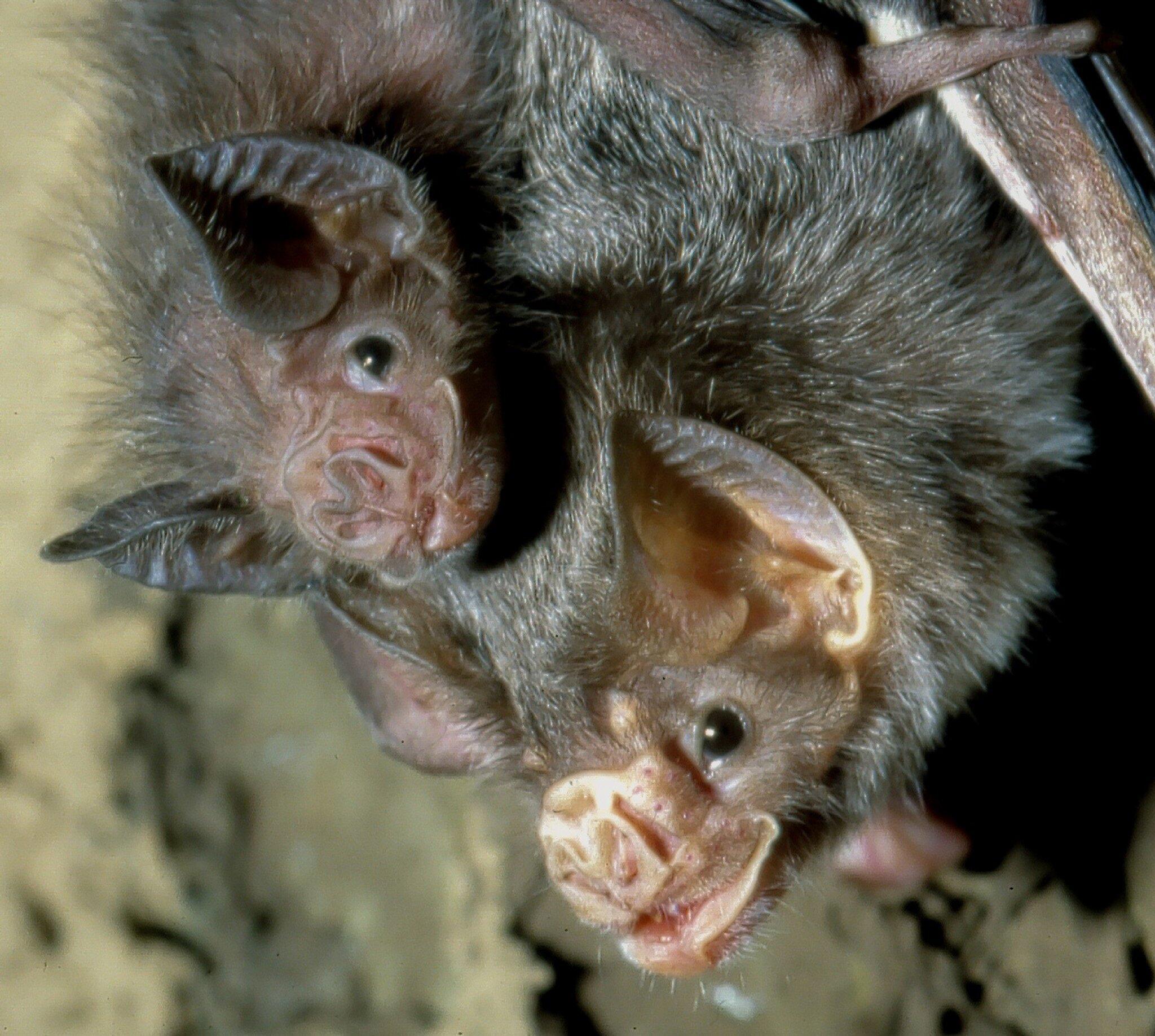 Bild zu Der Gemeine Vampir (Desmodus rotundus)