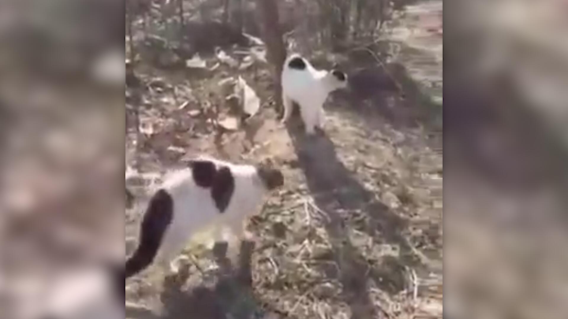 Bild zu Katzen gehen gemeinsam auf Schäferhund los