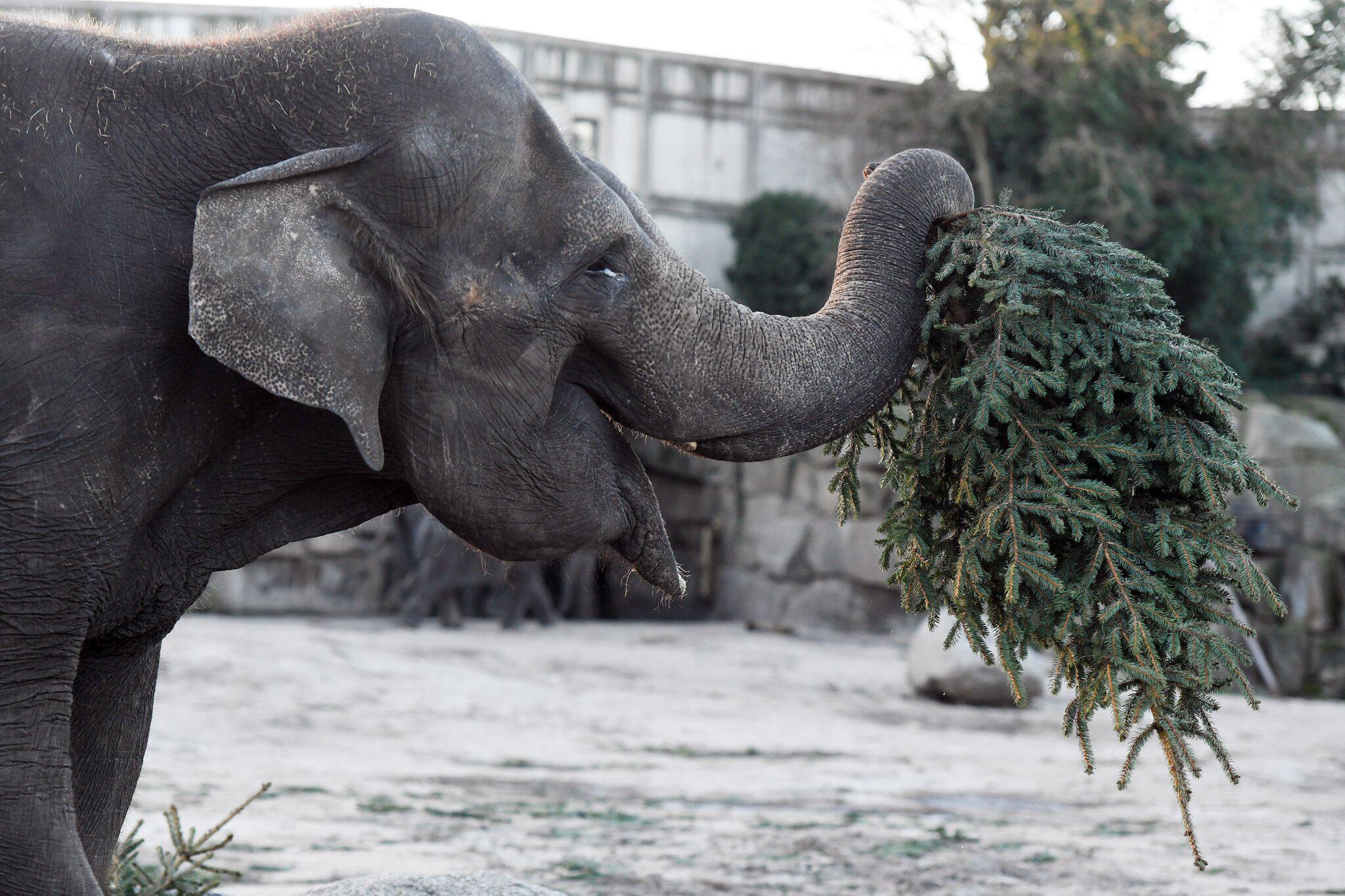 Bild zu Weihnachtsbäume für Elefanten