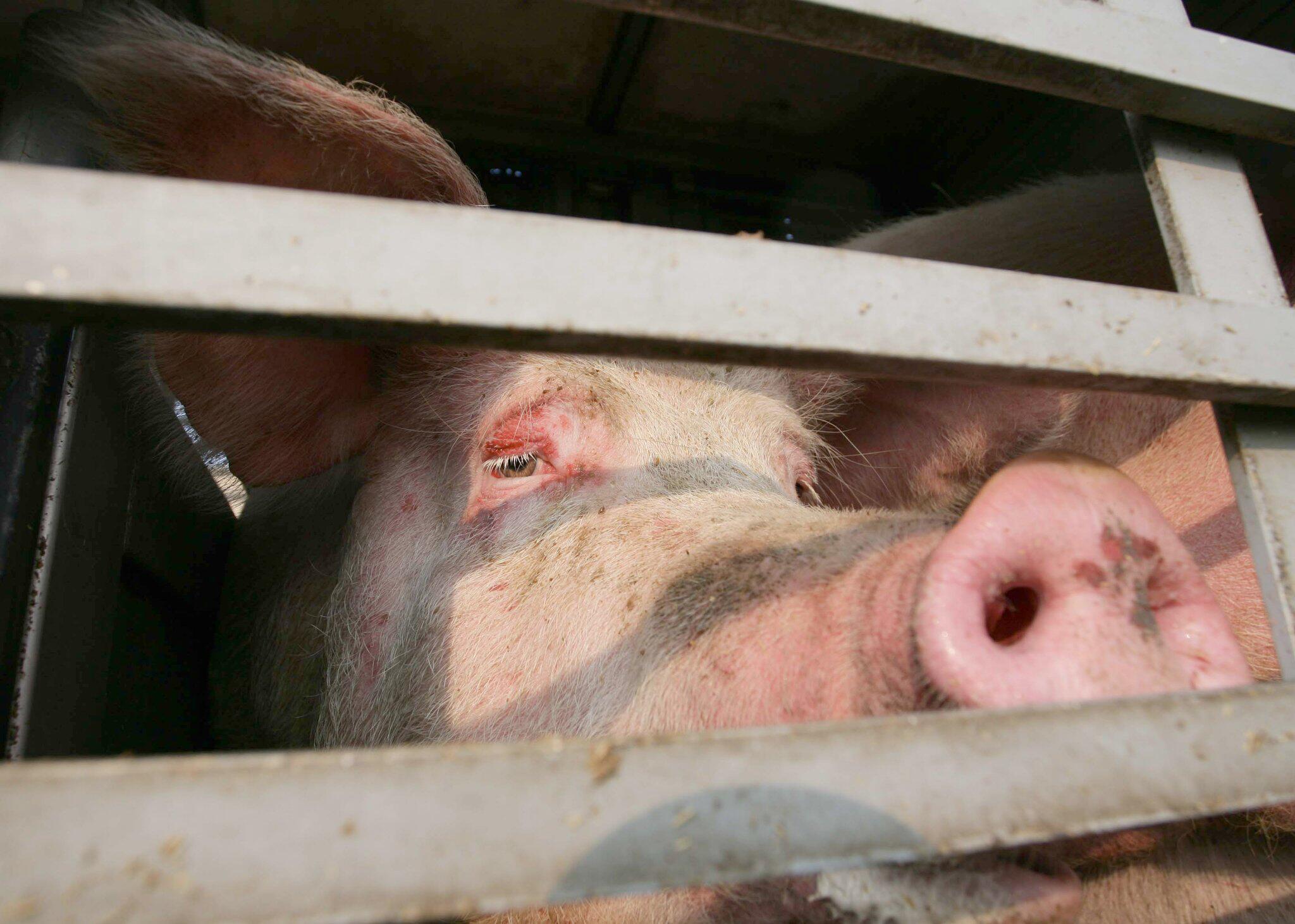 Bild zu Schweinetransporter